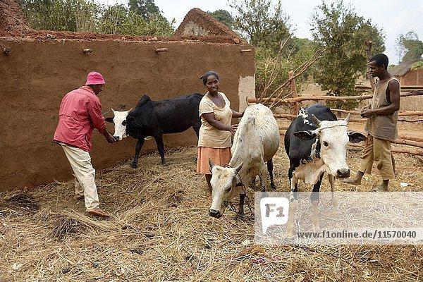 Bauern  Familie mit Kühen  Dorf Analakely  Tanambao Commune  Distrikt Tsiroanomandidy  Region Bongolava  Madagaskar  Afrika