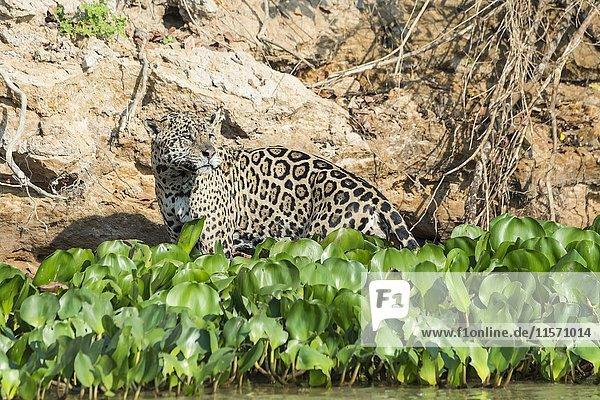 Männlicher Jaguar (Panthera leo) an Flussufer  Rio Cuiaba  Pantanal  Mato Grosso  Brasilien  Südamerika