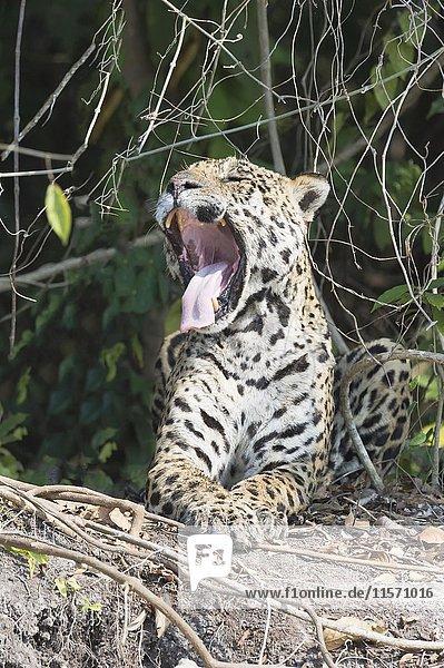 Männlicher Jaguar (Panthera leo) gähnt an Flussufer  Rio Cuiaba  Pantanal  Mato Grosso  Brasilien  Südamerika