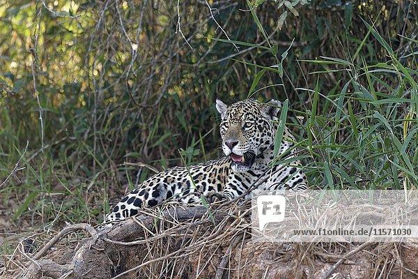 Weiblicher Jaguar (Panthera leo) liegt an Flussufer  Rio Cuiaba  Pantanal  Mato Grosso  Brasilien  Südamerika