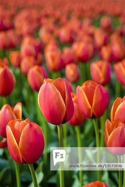 Rote holländische Tulpen (Tulipa) in voller Blüte im Blumenzwiebelfeld  Frühjahrsanfang  Lisse  Provinz Südholland  Niederlande  Europa