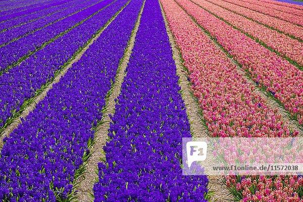 Hyazinthenfeld (Hyacinthus) in voller Blüte  Frühjahrsanfang  Provinz Nordholland  Alkmaar  Niederlande  Europa