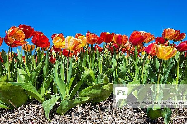 Bunte Tulpen (Tulipa) vor blauem Himmel bei Zipje  Callantsoog  Provinz Nordholland  Niederlande  Europa