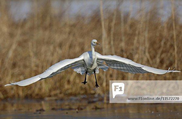 Great Egret (Ardea alba) approaching during landing  Middle Elbe Biosphere Reserve  Saxony-Anhalt  Germany  Europe