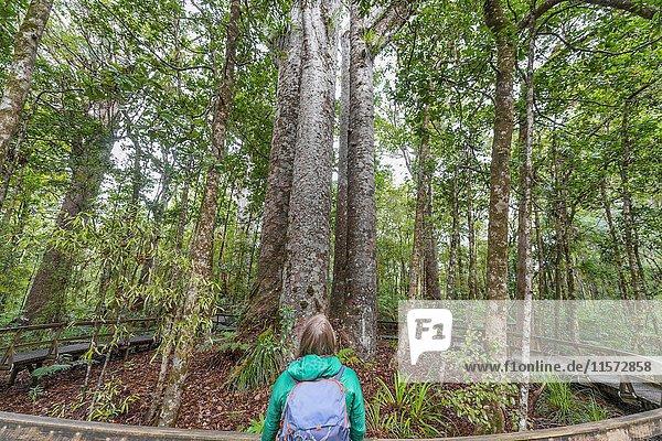 Touristin vor vier zusammenstehenden Kauri Bäumen (Agathis australis)  The Four Sisters  Waipoua Forest  Northland  Nordinsel  Neuseeland  Ozeanien