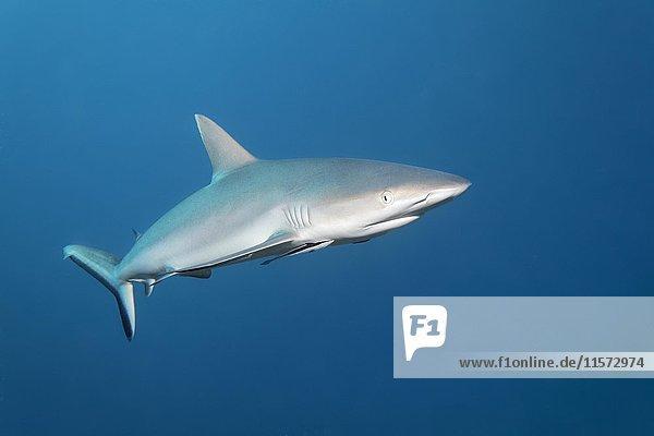 Grauer Riffhai (Carcharhinus amblyrhynchos)  Indischer Ozean  Malediven  Asien