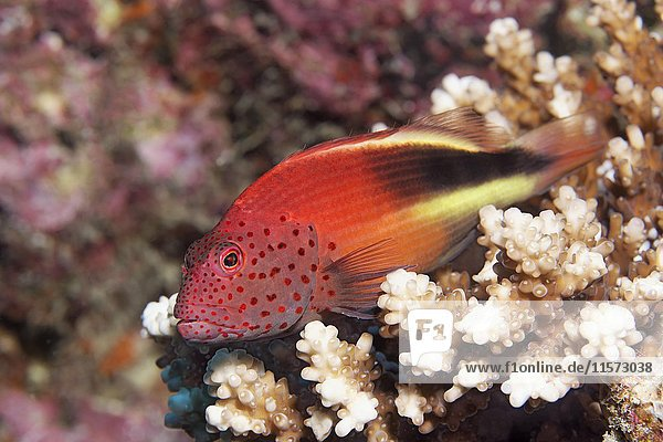 Fosters Büschelbarsch (Paracirrhites forsteri)  Indischer Ozean  Malediven  Asien