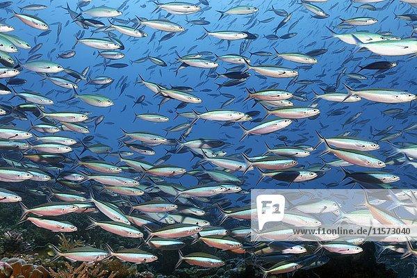 Schwarm Neon Füsiliere (Pterocaesio tile)  Indischer Ozean  Malediven  Asien