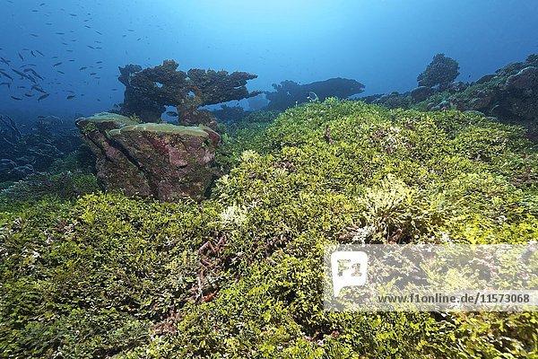 Korallenriff  Bewuchs  Halimeda Alge (Halimeda copiosa)  Indischer Ozean  Malediven  Asien