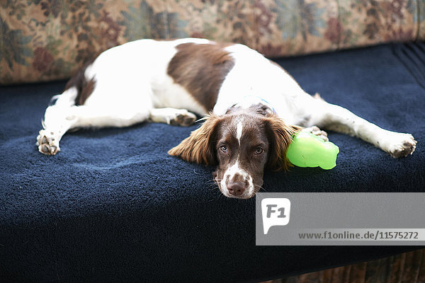 Porträt eines Hundes  auf Sofa liegend Porträt eines Hundes, auf Sofa liegend