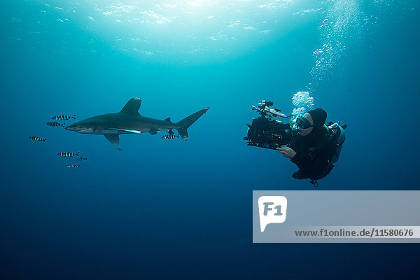 Scuba diver swimming with white tip shark (Carcharhinus longimanus) and pilot fish  underwater view  Brothers island  Egypt