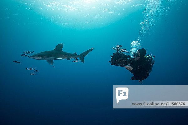 Gerätetaucher beim Schwimmen mit Weissspitzenhai (Carcharhinus longimanus) und Pilotfisch  Unterwassersicht  Brothers Island  Ägypten