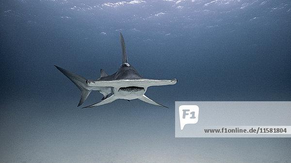 Unterwasser-Ansicht eines Hammerhais