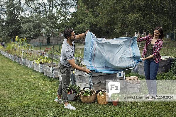 Volle Länge des mittleren erwachsenen Paares Schütteltischdecke im Gemüsegarten