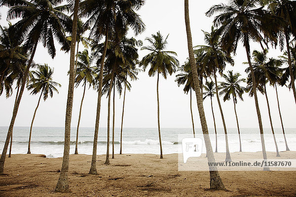 Am Strand wachsende Palmen