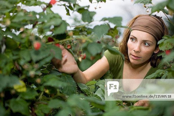 Woman picking raspberries