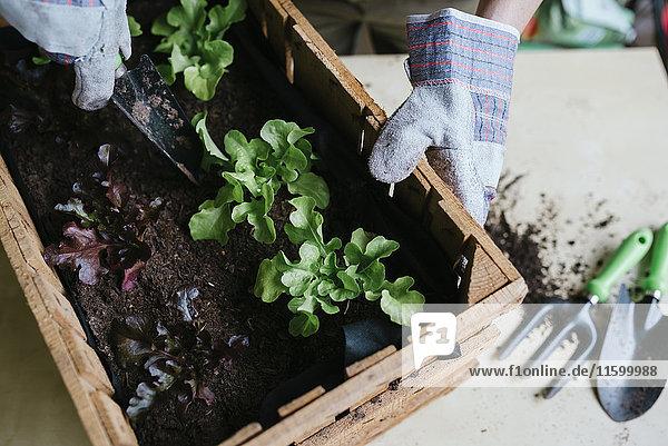 Person  die Salat in einer Holzkiste pflanzt.