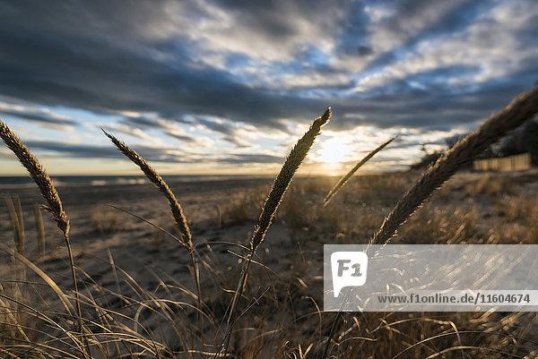 Tall grass on beach at sunset
