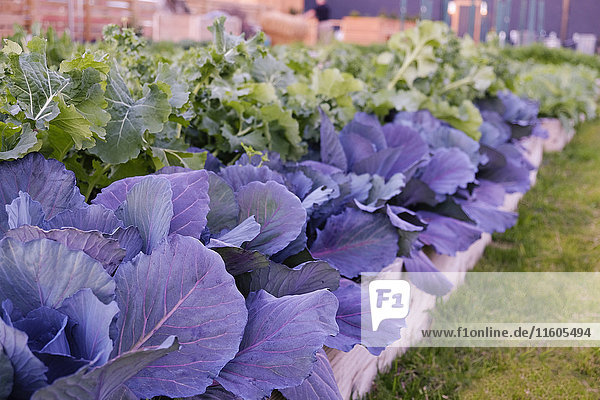 Green and purple leafy vegetables in garden