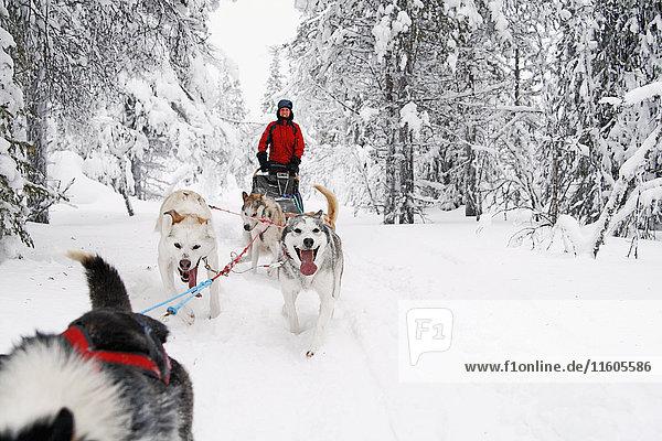 Siberian Huskies pulling sleigh with woman