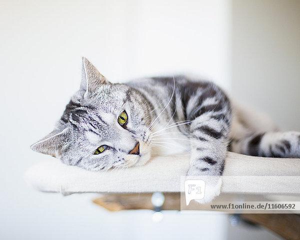 Porträt einer Katze auf Möbeln liegend Porträt einer Katze auf Möbeln liegend