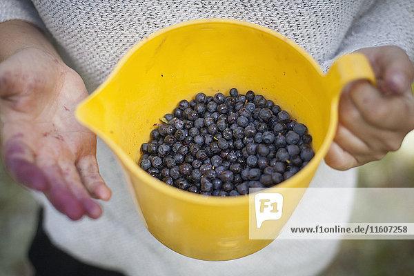 Mittelteil der Frau mit frisch geernteten Heidelbeeren im Krug auf dem Feld
