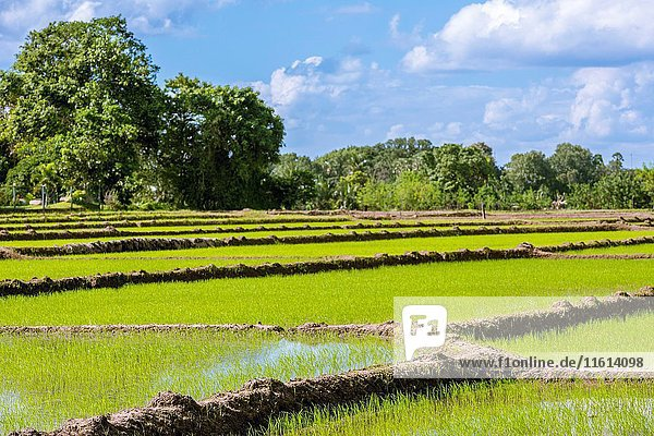 Paddy fields at Polonnaruwa  North Central Province  Sri Lanka  Asia.