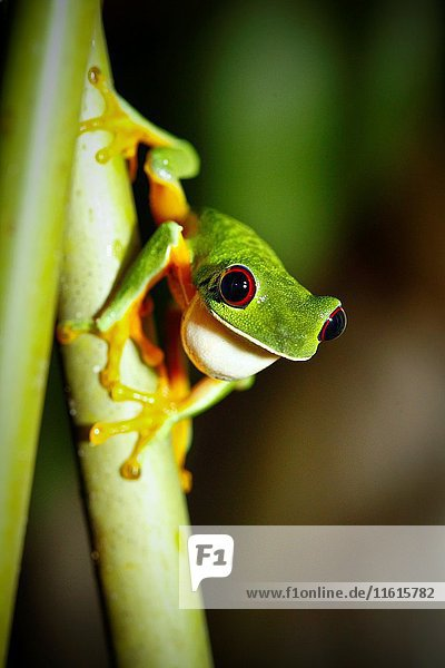 Red-eyed tree frog (Agalychnis callidryas) Icon of Costa Rica. Manuel Antonio National Park  Puntarenas  Pacific Ocean  Costa Rica  Central America  America.