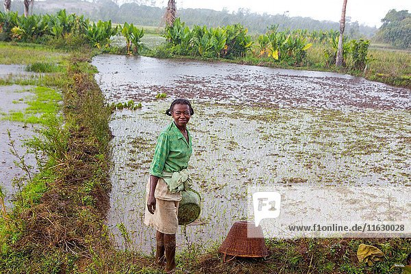 Old malagasy woman working on the rice field in Madagascar in the rain in rural community in Fort-Dauphin area.