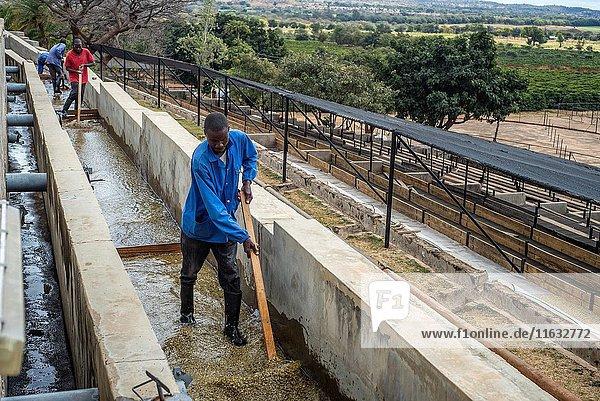 A worker of Mubuyu Farm coffee factory rakes coffee in the water at the Mubuyu farm coffee factory in Zambia.