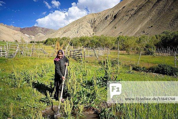 India  Jammu and Kashmir State  Himalaya  Ladakh  Hemis National Park  Rumbak village  woman working in the fields