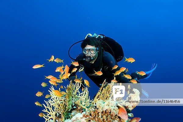 Male scuba diver swimming near coral reef and looks at a shoal of fish sea goldie (Pseudanthias squamipinnis) Red Sea,  Egypt.