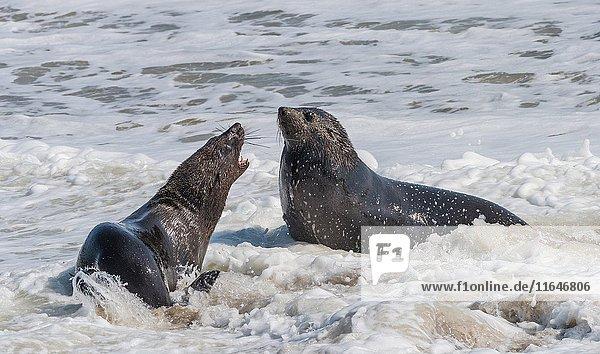 Colony of cape fur seals (Arctocephalus pusillus) on the shore in the Skeleton Coast Park  Namibia  Africa