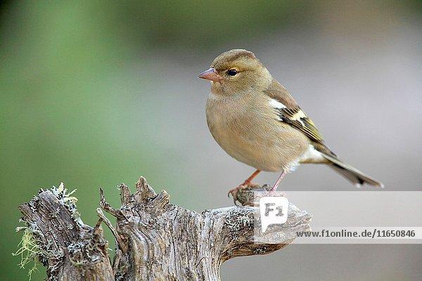 Chaffinch (Fringilla coelebs) female in the region of Los Serranos. Valencia.