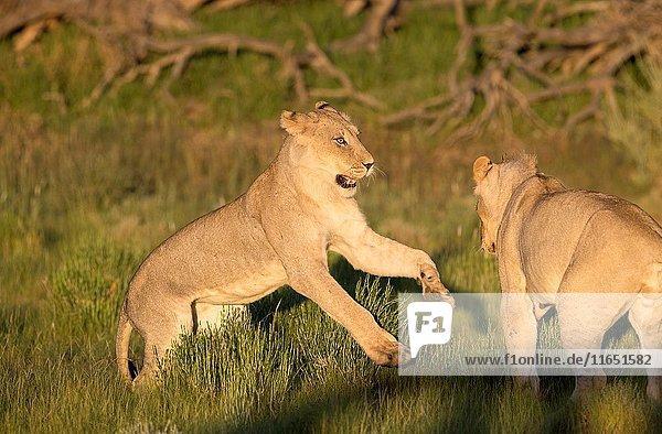 African lion (Panthera leo) - Youngs  in the bush  Kgalagadi Transfrontier Park  Kalahari desert  South Africa/Botswana.