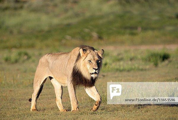 African lion (Panthera leo) - Male  in the bush  Kgalagadi Transfrontier Park  Kalahari desert  South Africa/Botswana.