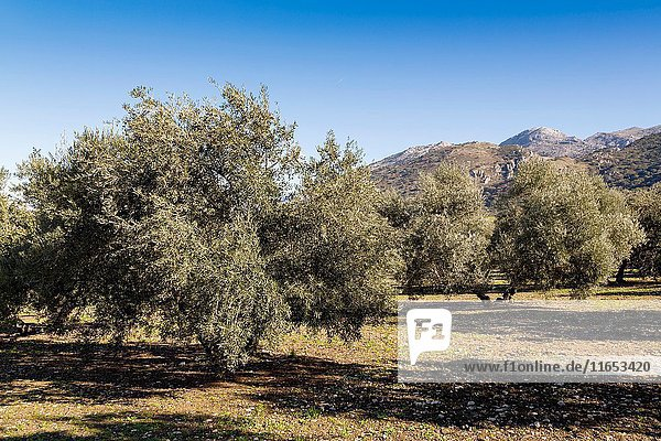 Field of ecological olive trees  Antequera. Malaga. Andalusia southern Spain. Europe.