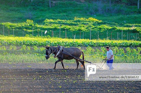 Traditional plowing. Badajoz province. Extremadura. Spain