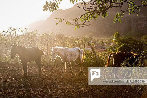 Horses in sunlit paddock  Vinales  Cuba
