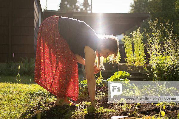 Frau erntet Gemüse vom Gemüsebeet