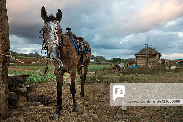 Horse tied to field fence post  Vinales  Cuba