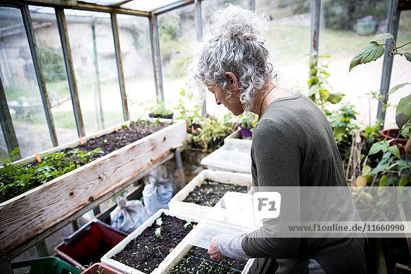 Reife Gärtnerin  die Sämlinge im Gewächshaus pflegt
