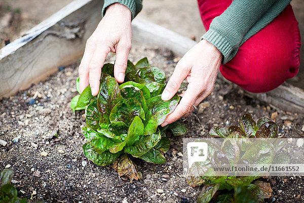 Hände einer Gärtnerin beim Salatpflücken