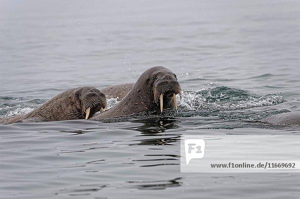Walrus (Odobenus rosmarus) in water  Spitsbergen Island  Svalbard Archipelago  Norway .