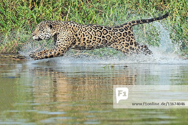 Male Jaguar (Panthera onca) running in water and chasing  Cuiaba river  Pantanal  Mato Grosso  Brazil.