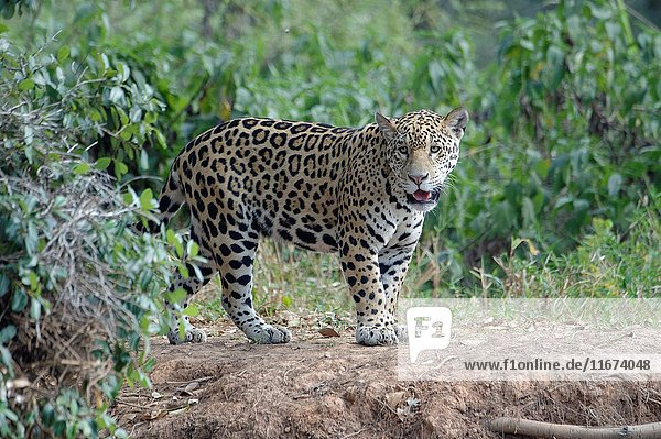 Young jaguar (Panthera onca) on riverbank  Cuiaba river  Pantanal  Mato Grosso State  Brazil.