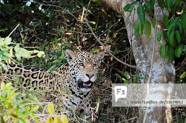 Young jaguar (Panthera onca) hidden in trees  Cuiaba river  Pantanal  Mato Grosso State  Brazil.