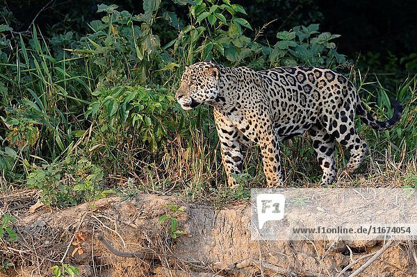 Male jaguar (Panthera onca) on riverbank  Cuiaba river  Pantanal  Mato Grosso State  Brazil.