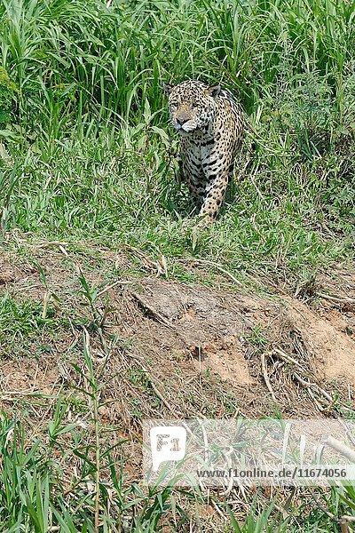 Male jaguar (Panthera onca) stalking on riverbank  Cuiaba river  Pantanal  Mato Grosso State  Brazil.