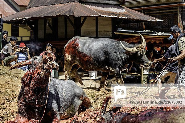 Men sacrificing water buffalos for the traditional funeral celebration of an old Tana Toraja woman. The richer was the deceased  the more buffalos will be sacrificed.